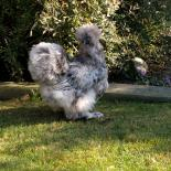 Silkie Splash